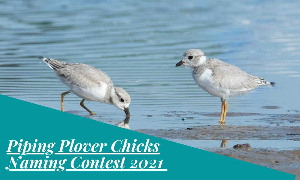 Piping Plover Chicks Naming Contest 2021
