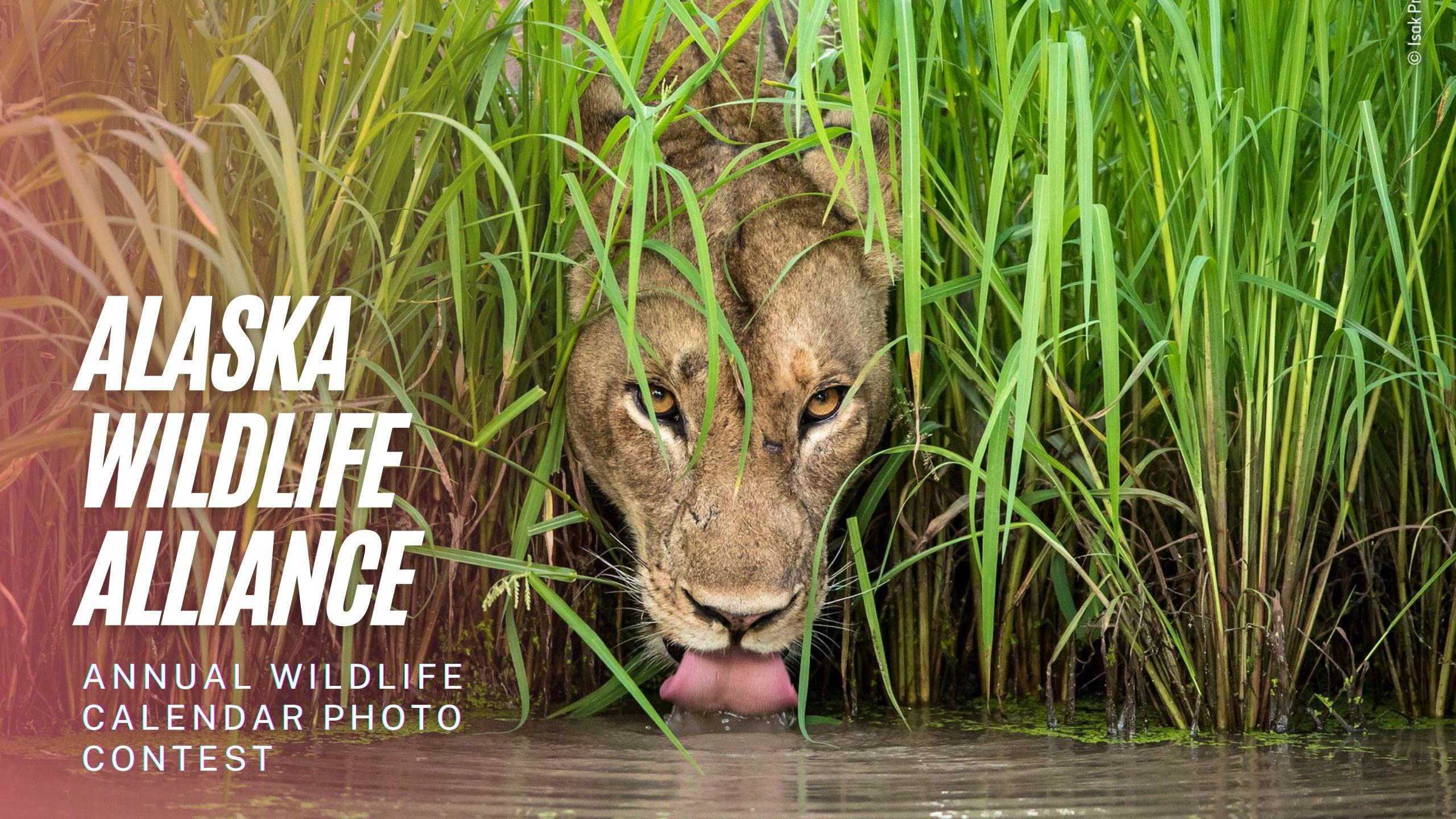 Alaska Wildlife Alliance Annual Wildlife Calendar Photo Contest