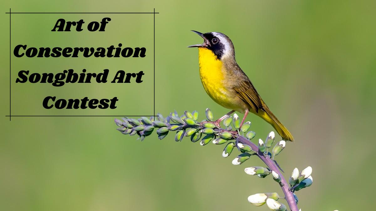 Art of Conservation Songbird Art Contest